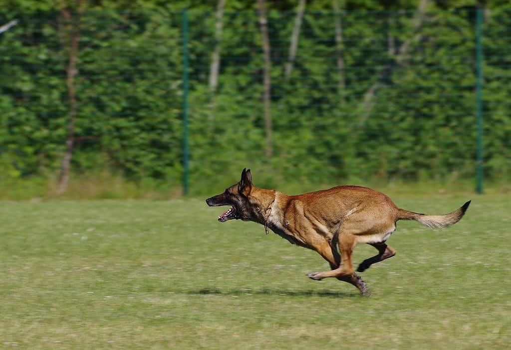 belgian shepherd malinois, dog, running